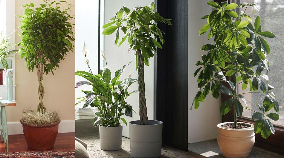 10 hermosos árboles que puedes cultivar en interiores