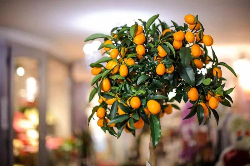 12 árboles frutales que puedes cultivar en interiores
