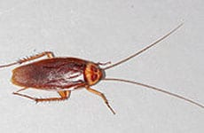 img_0005_american-cockroach
