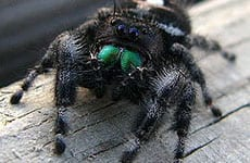 img_0006_250px-jumping_spider