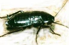 img_0007_oriental cockroach