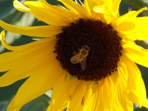 Bee Deaths - A Lethal Combination