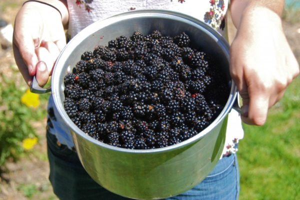 A Lesson In Mindfulness: Blackberry Picking