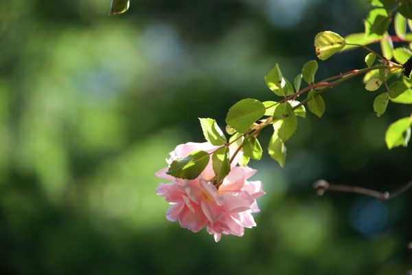 Learning to Notice What is Already There: The Rose Itself