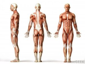 good posture, anatomical position, fitness, muscle,