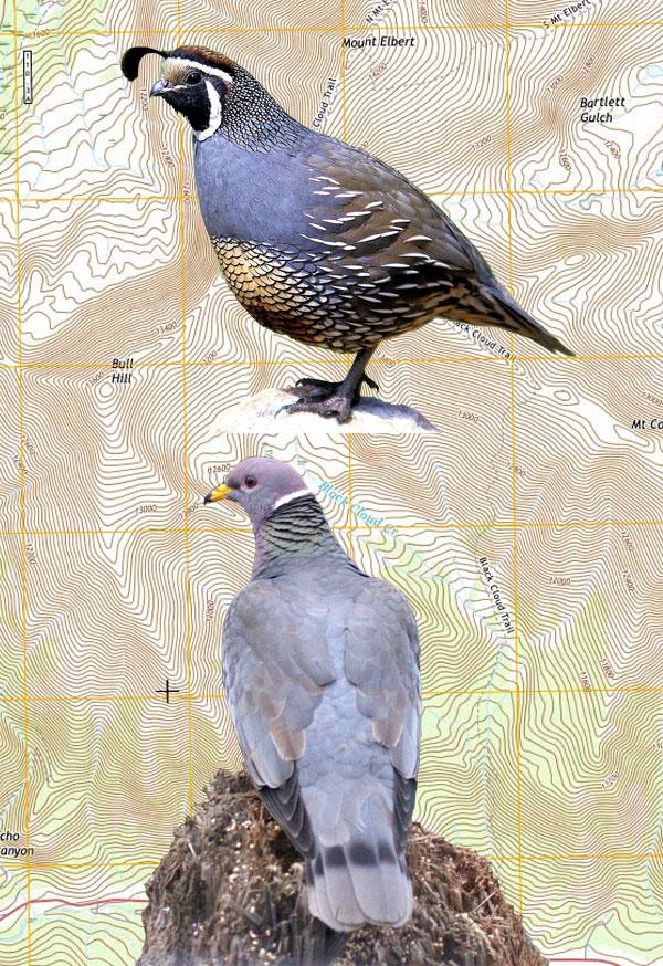 Quail & Pigeon Combo Hunts