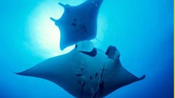 Mantas in Ishigaki