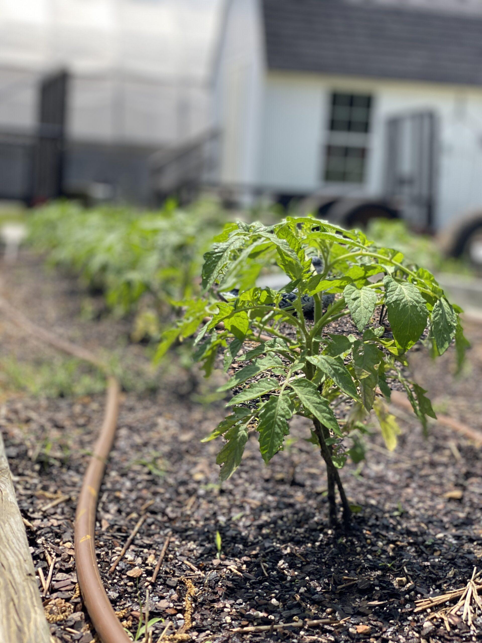 Summer Harvest: Community Gardens