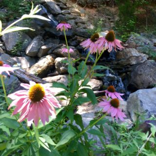 Echinacea in Bloom at The Huntley - The Cove at Fairview Vacation Rentals - Asheville NC