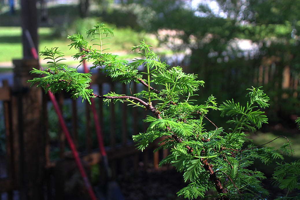 dawn redwood container