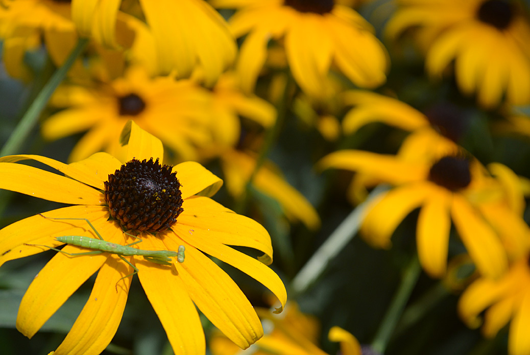 black eyed susan goldsturm