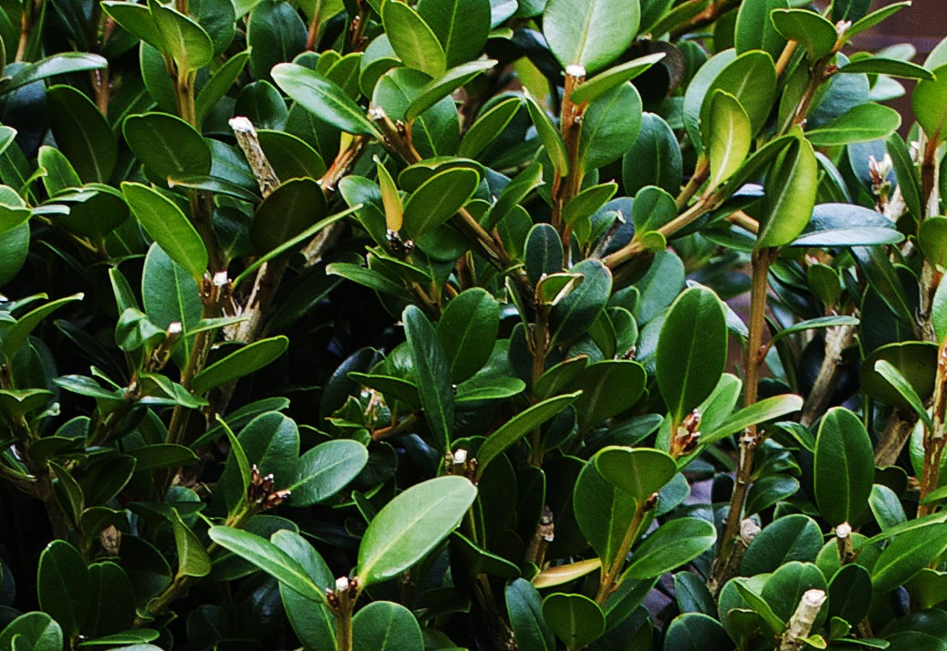 korean boxwood wintergreen