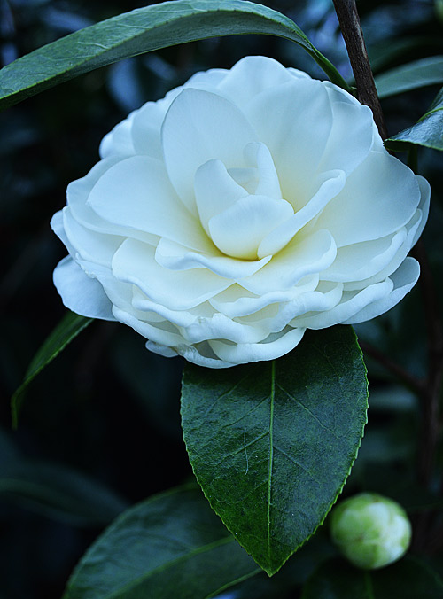 camellia japonica morning glow