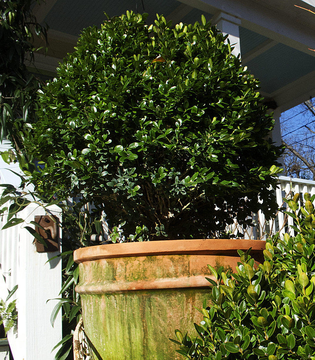 mighty-english-boxwood