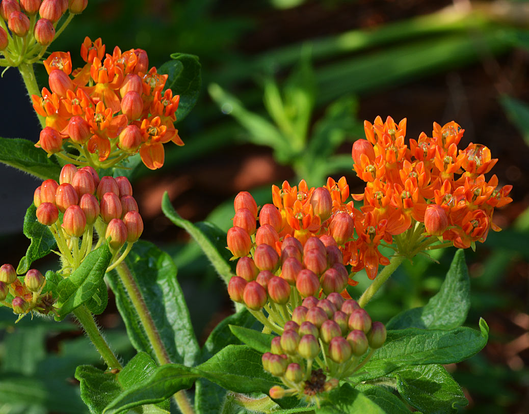 butterfly weed - Acslepias tuberosa