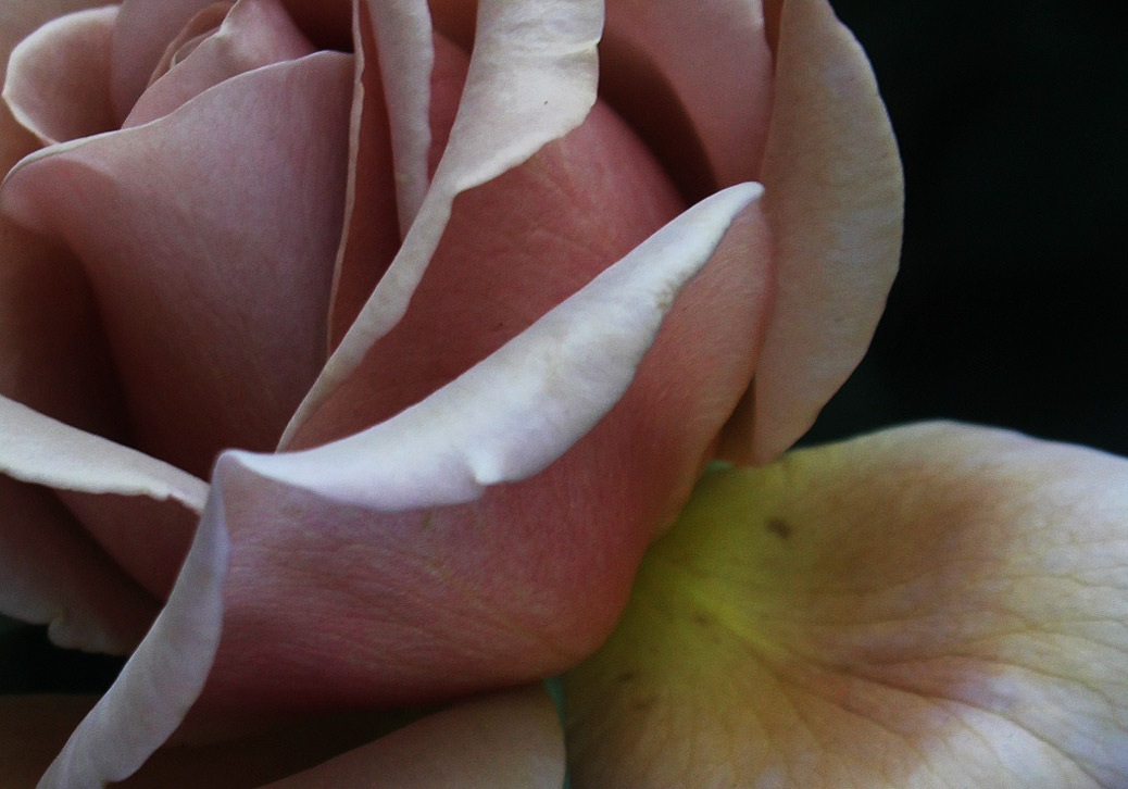 rose koko loko detail