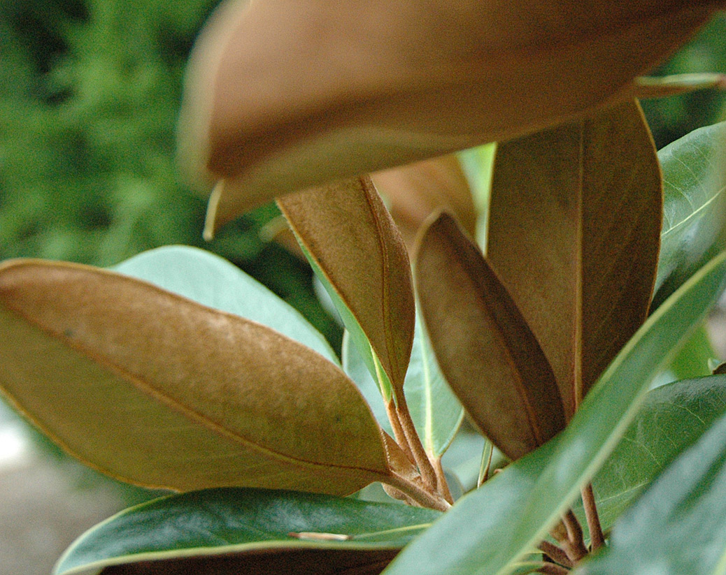 southern magnolia leaves