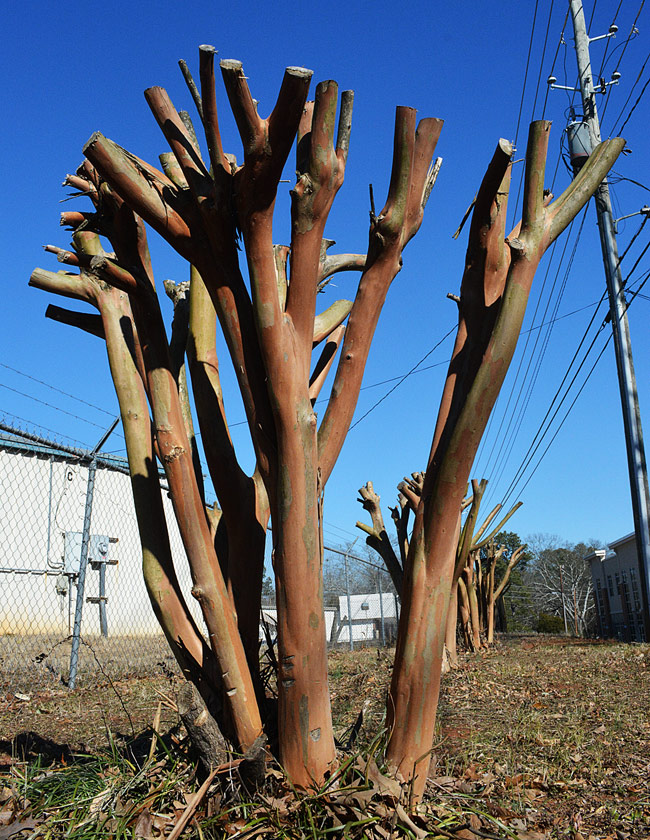 pruning crape myrtle the wrong way