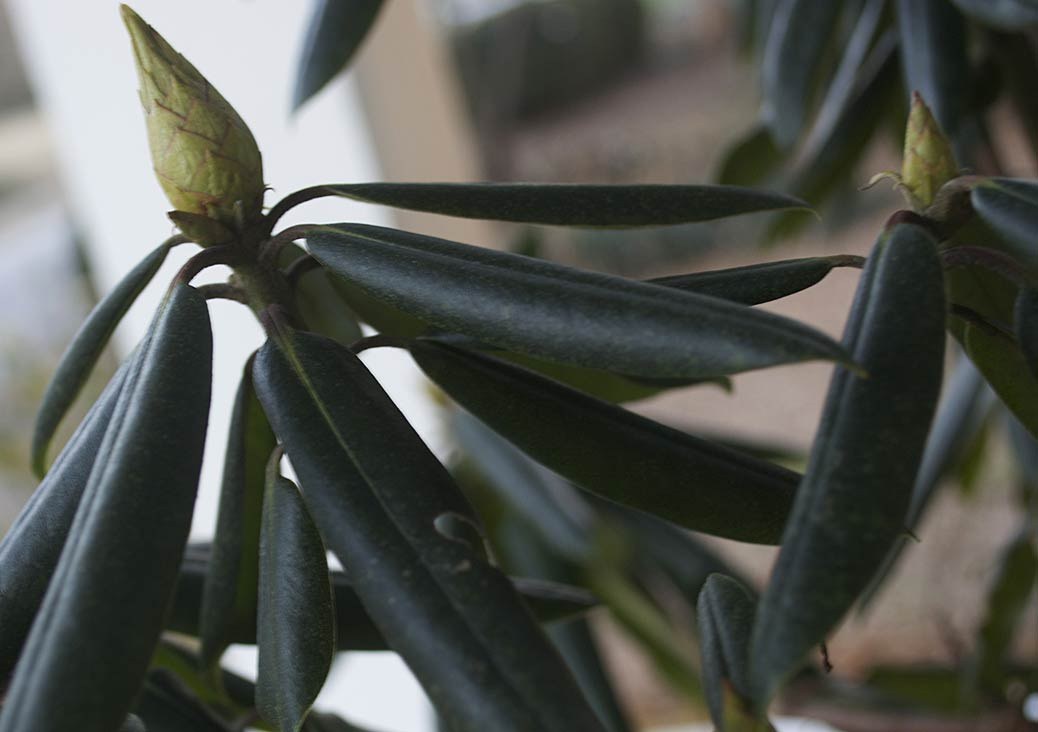 rhododendron leaf curl winter
