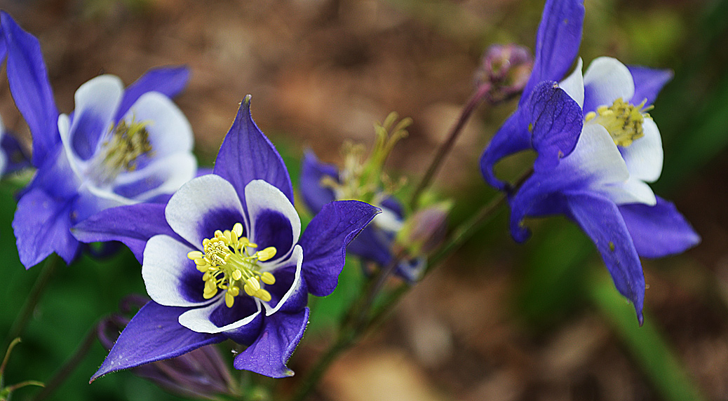 common columbine