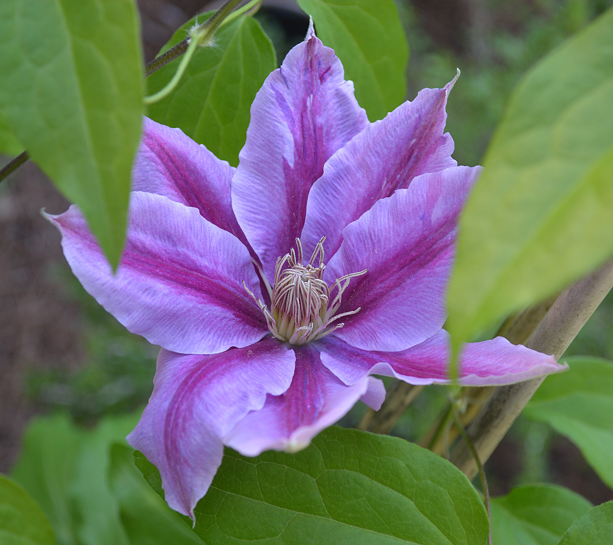 large-flowered clematis hybrid Nelly Moser