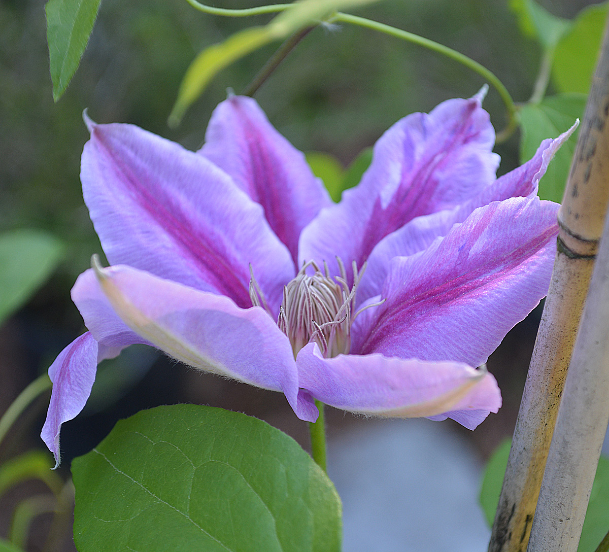 Nelly Moser Clematis