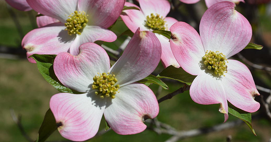 pink dogwood picture