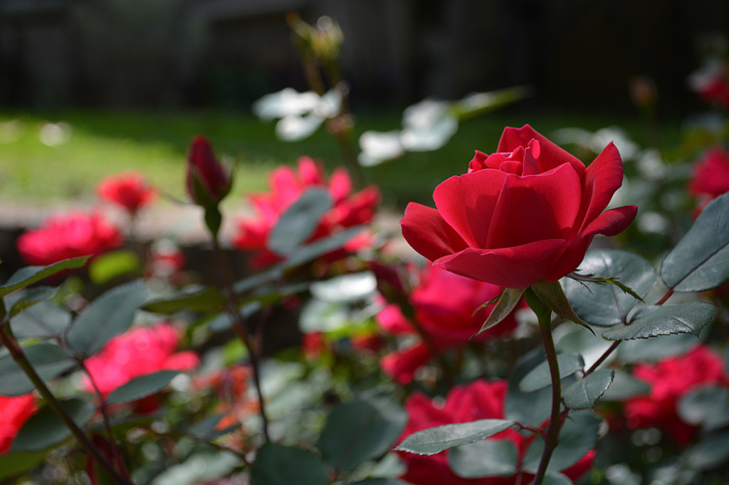 red knock out roses