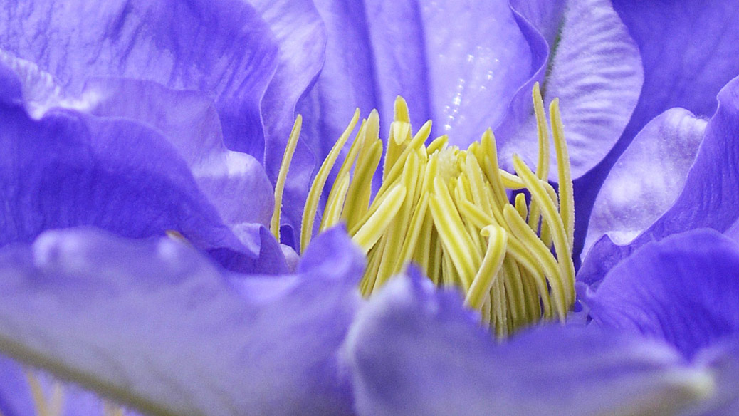 Clematis Will Goodwin