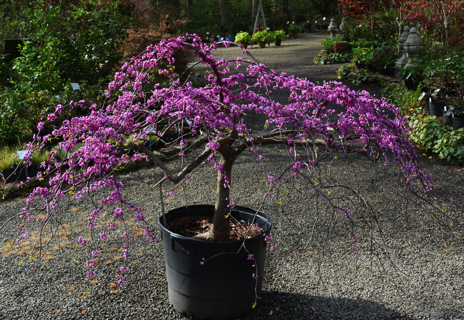 texas weeping redbud