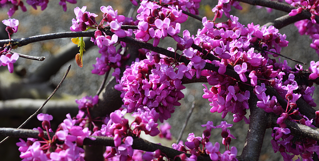 Cercis Canadensis Traveller Weeping Texas Redbud The Landscape
