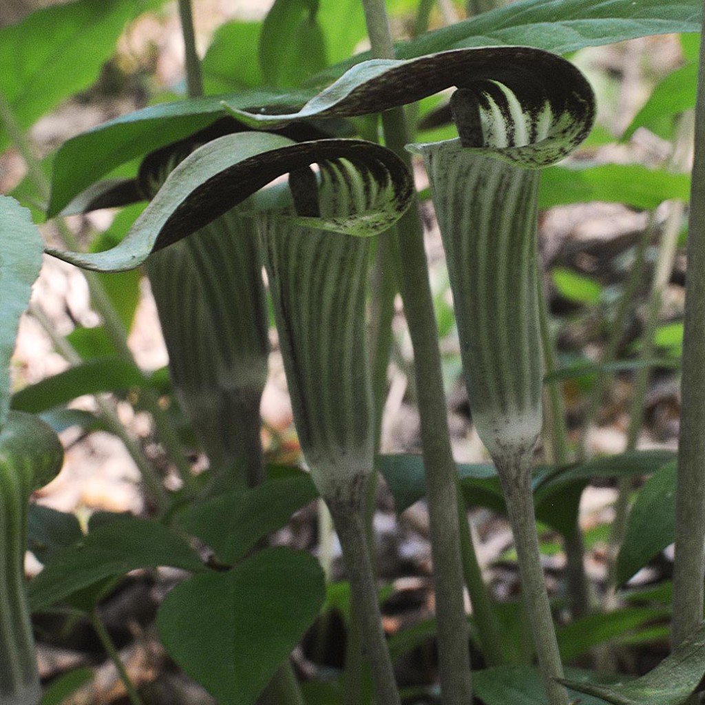 Jack-in-the-pulpit. Native perennial for the shade.