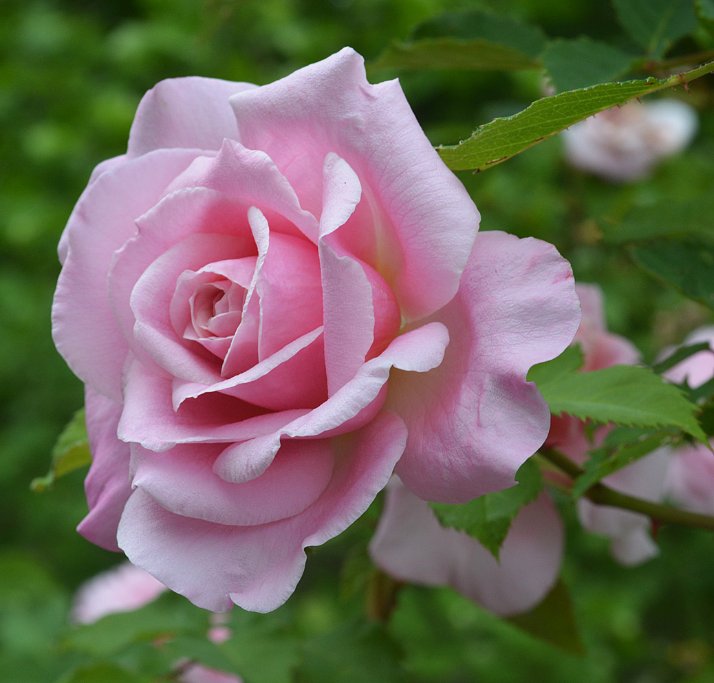Belinda's Dream: Dr. Basye's finest is a stalwart garden rose in the right conditions...dry and hot.