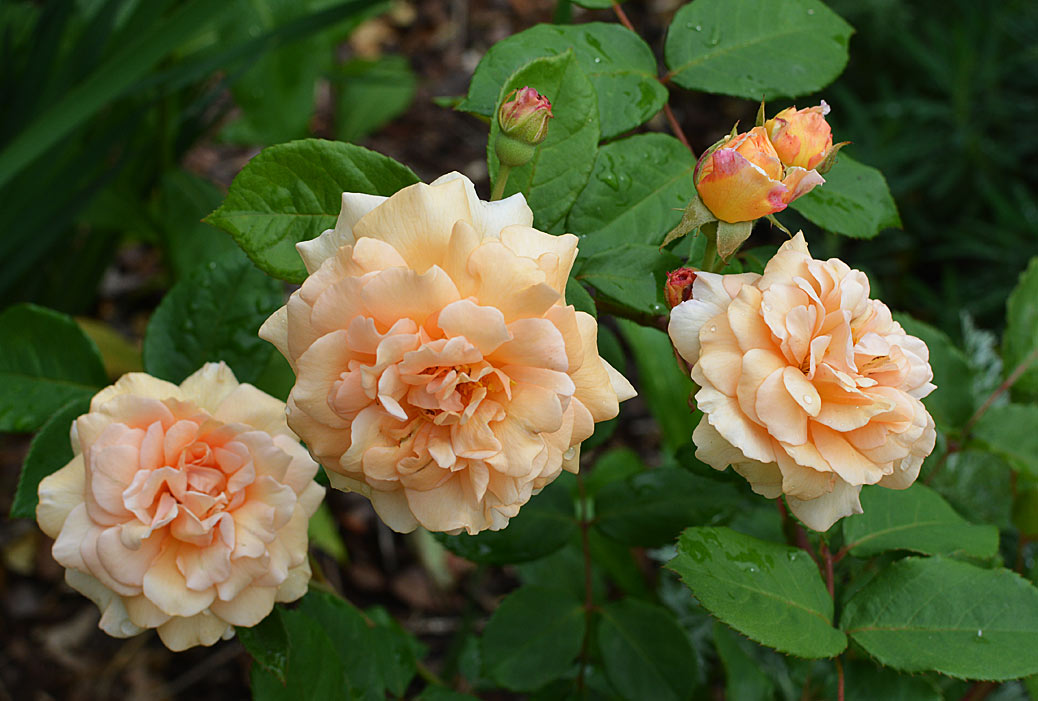 Buff Beauty - rose gardening