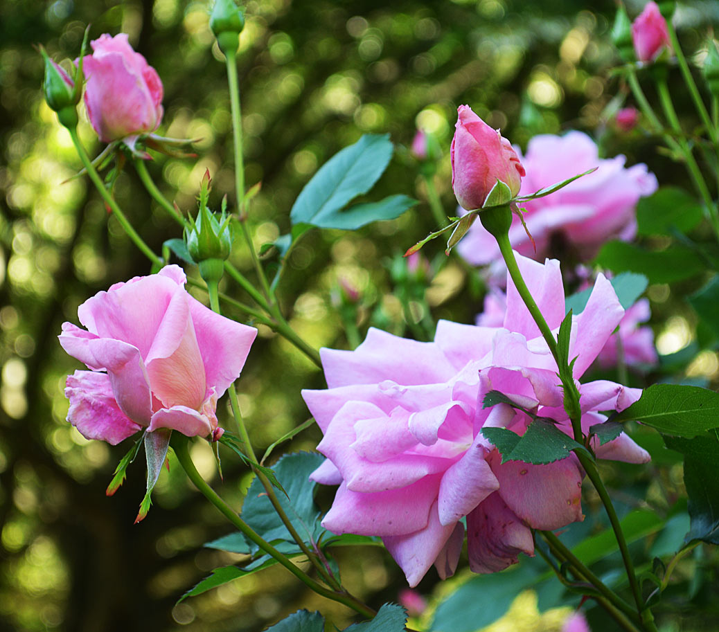 rose gardening Carefree Beauty shrub rose