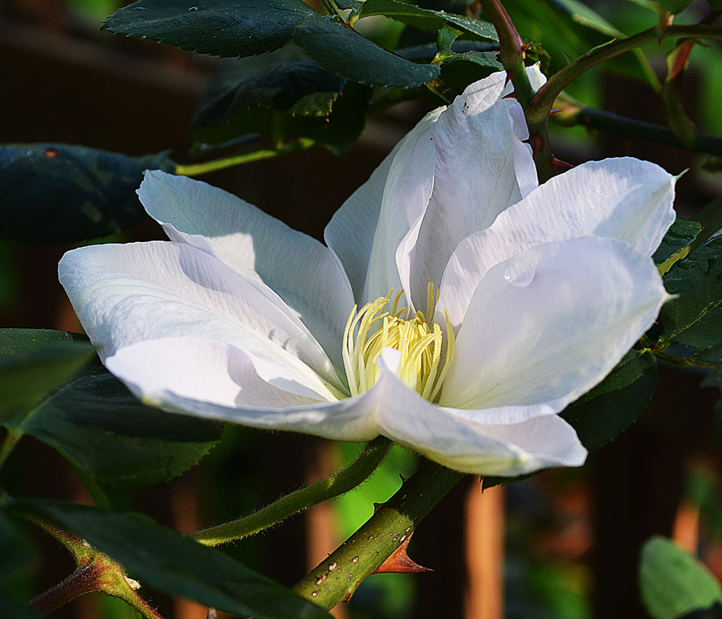 Clematis Candida