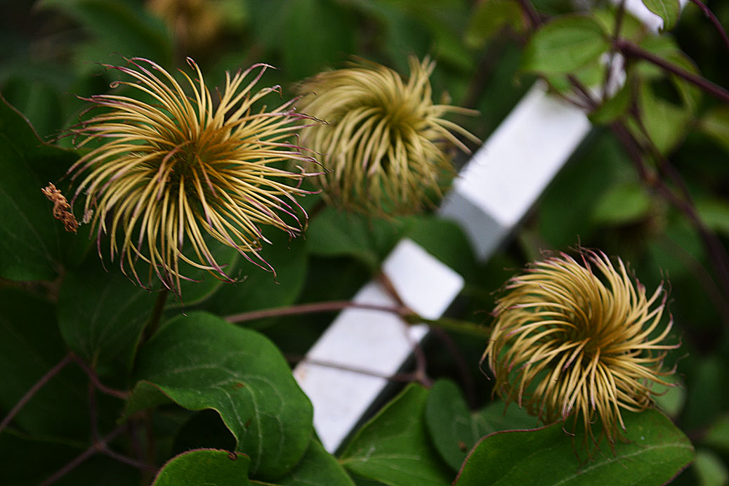 old clematis flowers