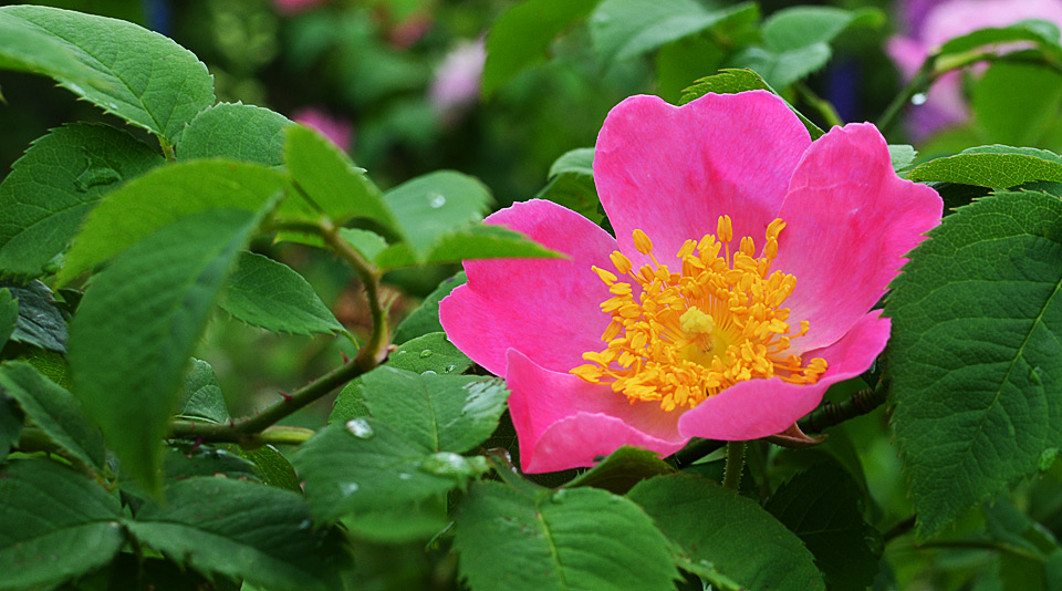 old rose complicata