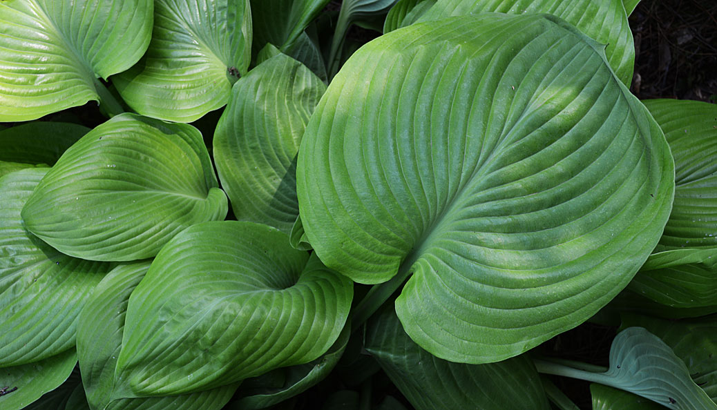 hosta sum and substance leaves