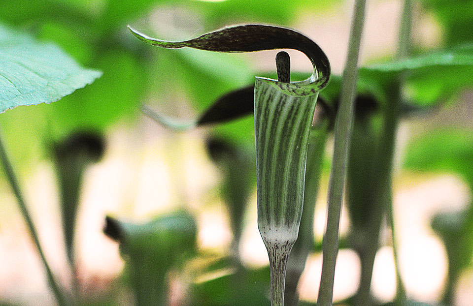 native plant jack in the pulpit