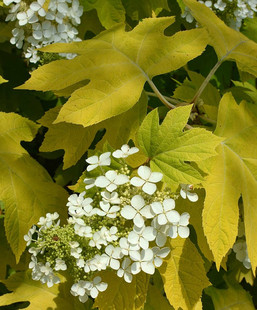 Little Honey oakleaf hydrangea
