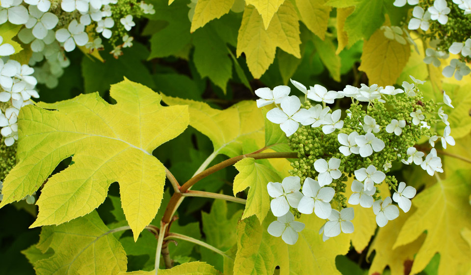Little Honey hydrangea quercifolia