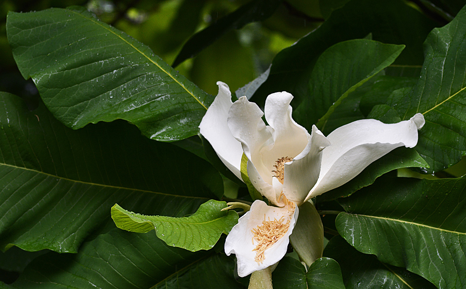 umbrella magnolia