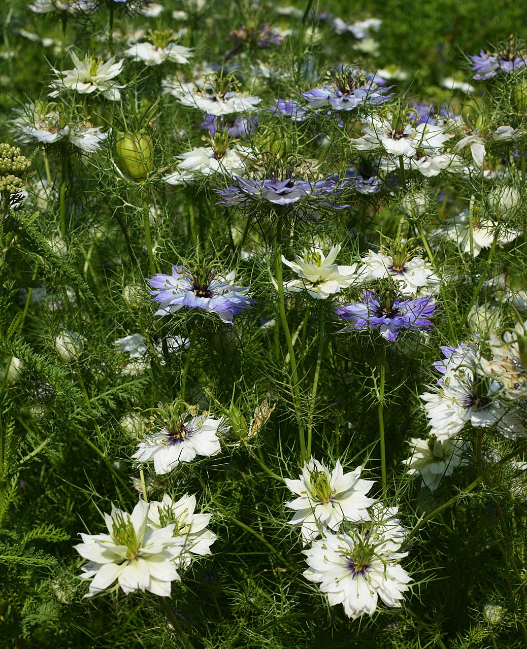 love in a mist - nigella damascena