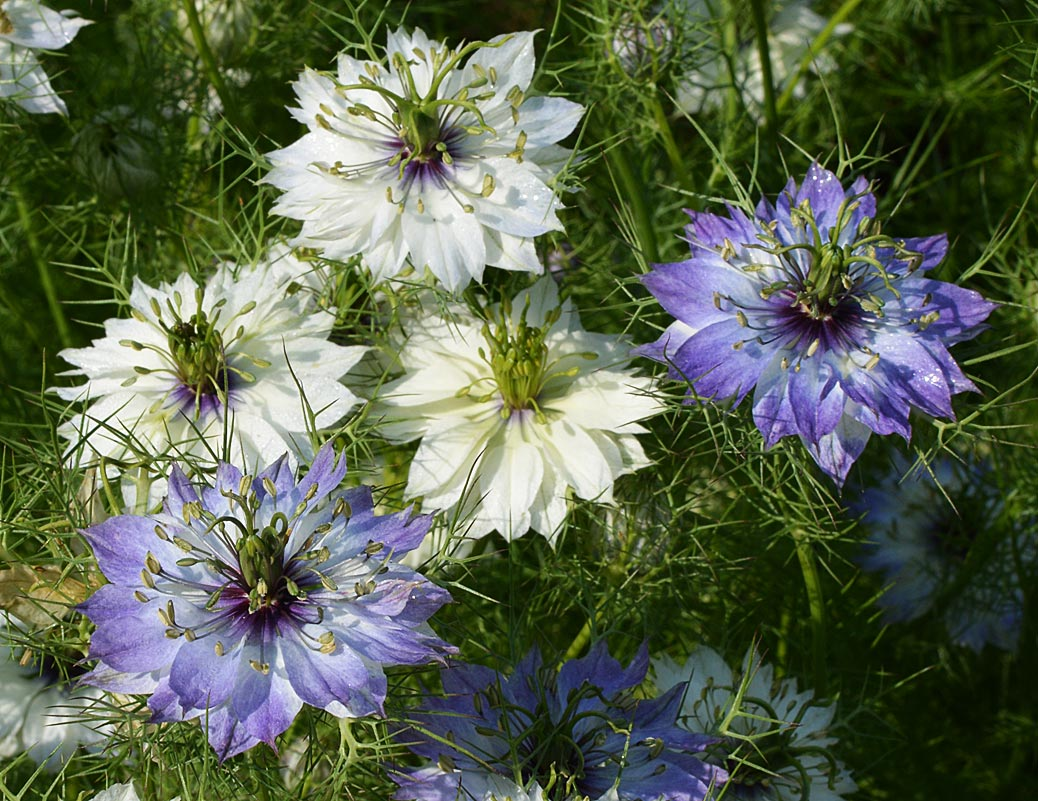 love in a mist - nigella