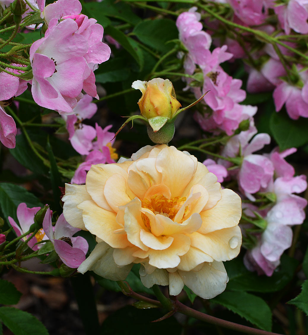 Buff Beauty garden rose