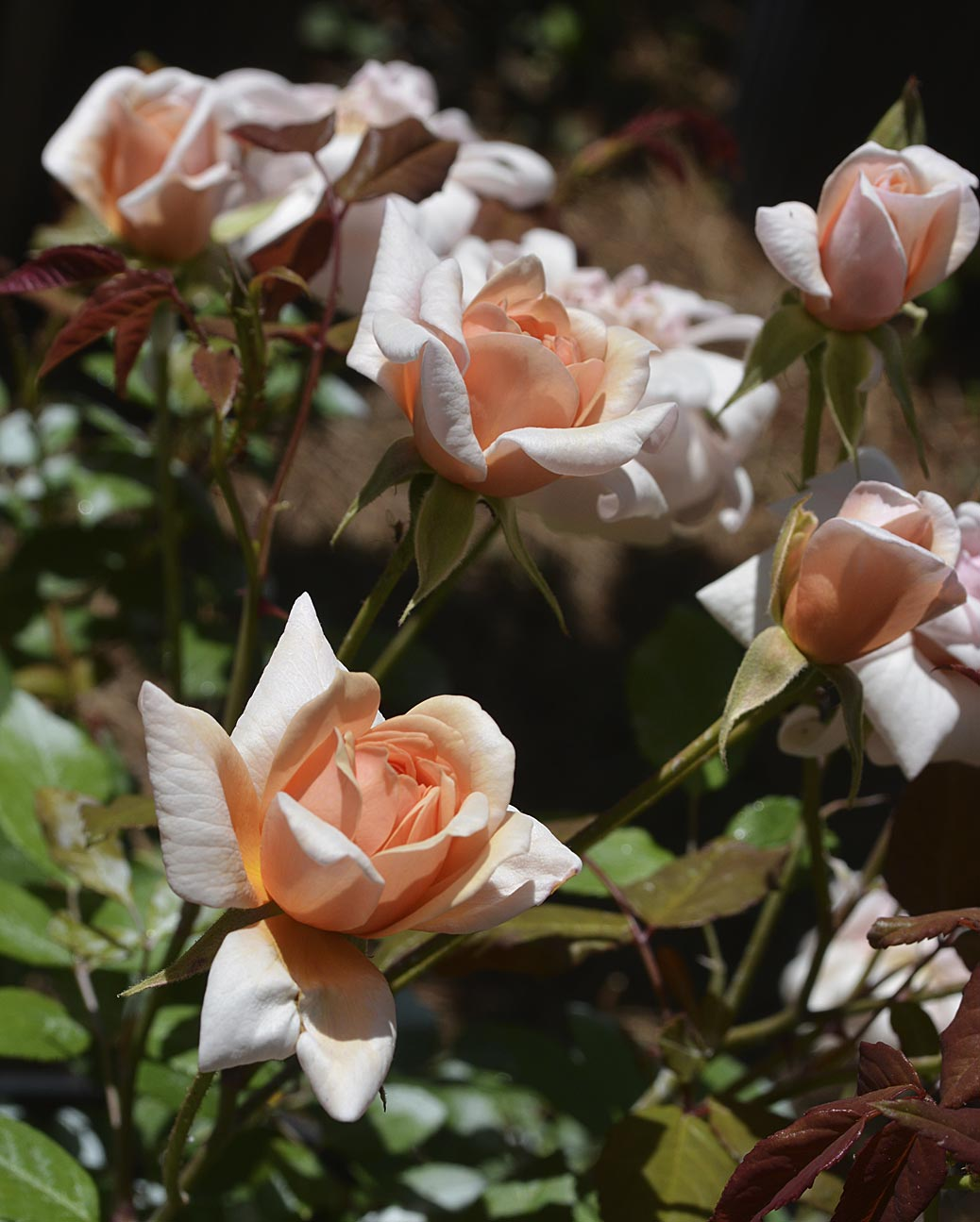Perle d'Or garden rose