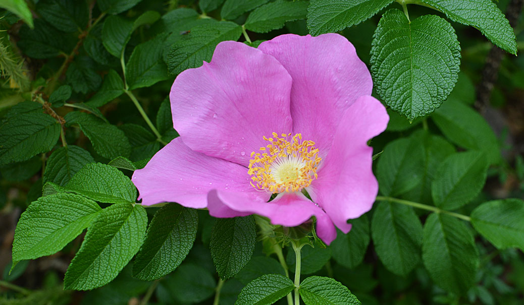 old rose also known as Fru Dagmar Hastrup