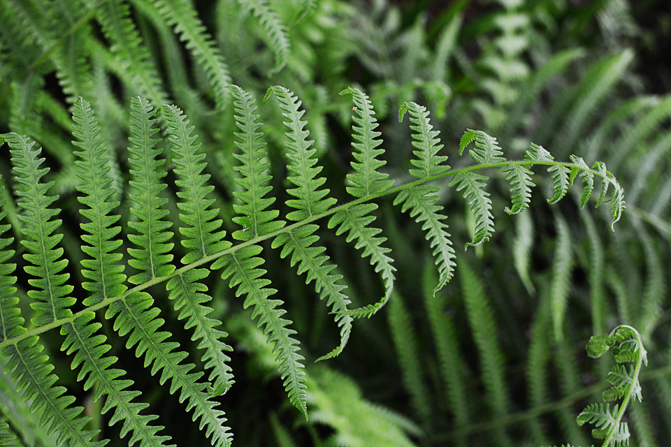 native ferns - southern shield fern