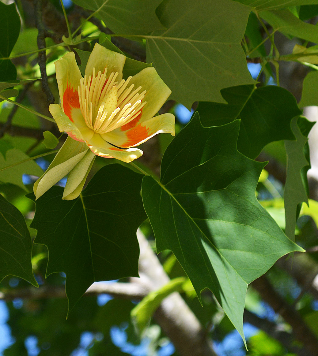 Liriodendron tulipifera - Tulip tree in flower.